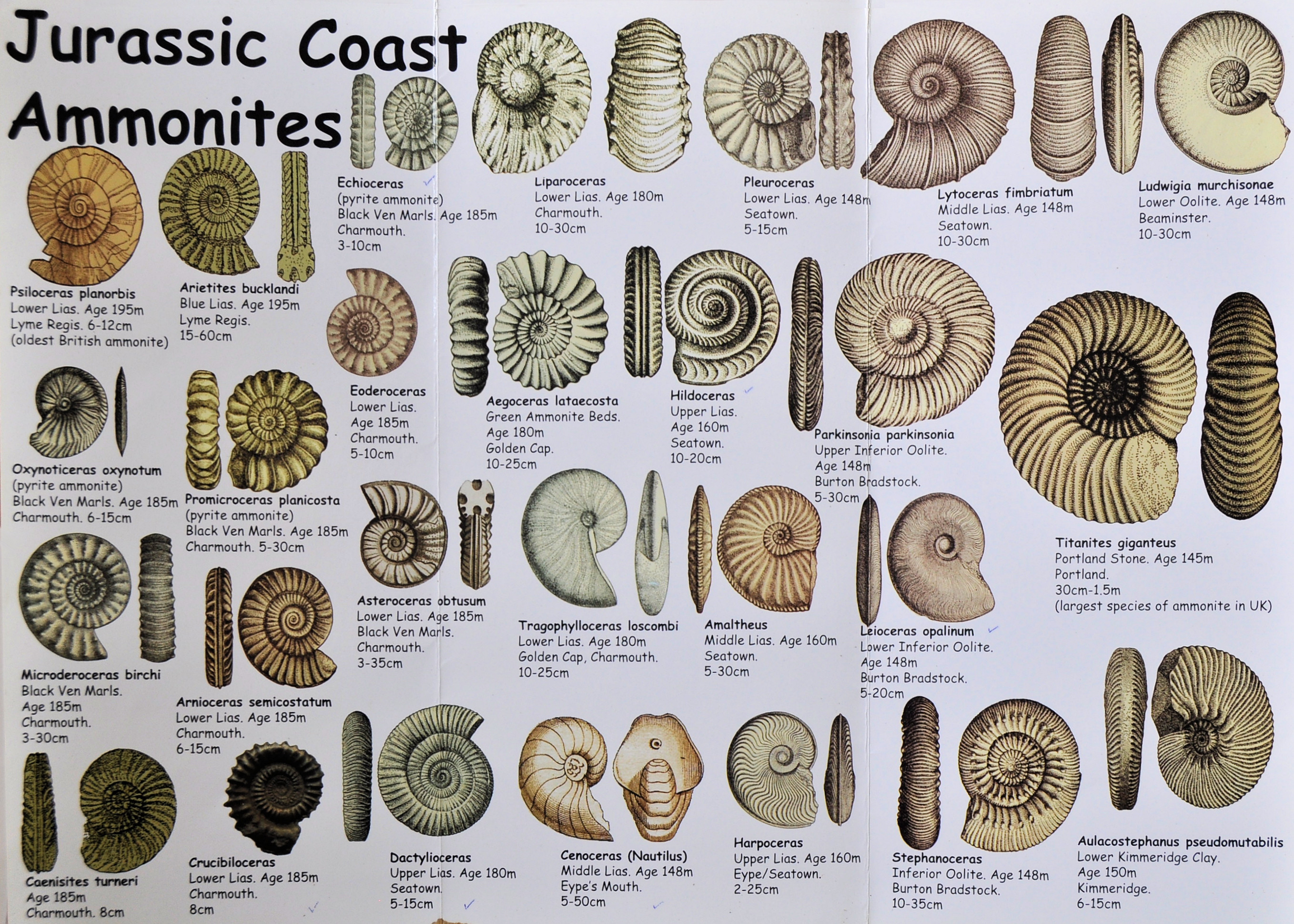 Jurassic Coast Ammonite
